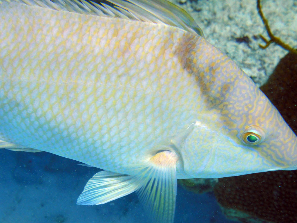 Hogfish close-up