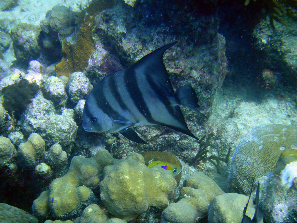 Spadefish, grunt, and fairy basslet