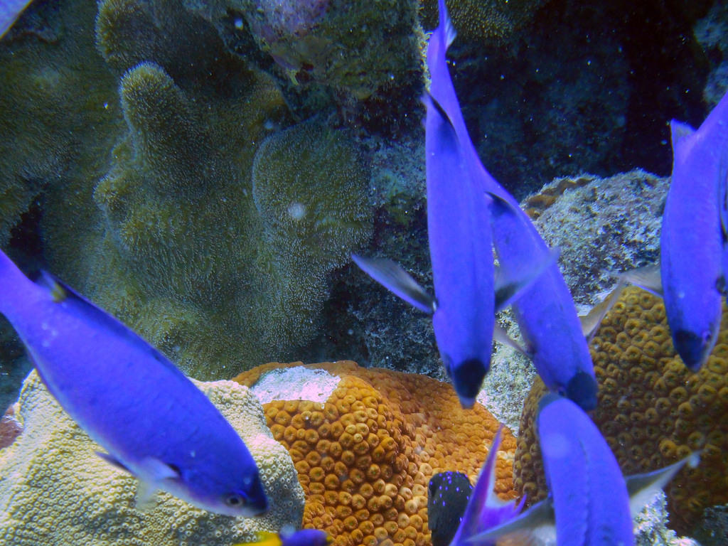 Blue chromis and coral