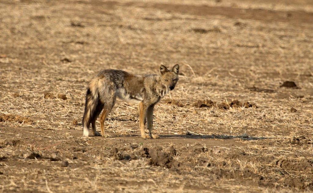 Side-striped jackal 2