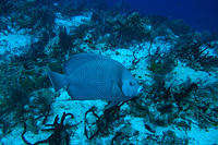 Grey angelfish 2