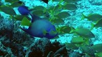 video: angelfish