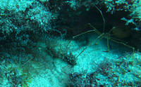 Arrow crab and cleaner shrimp