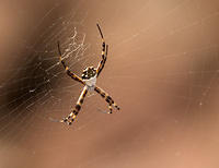 Silver Argiopes spider