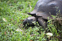 Another Galapagos Tortoise