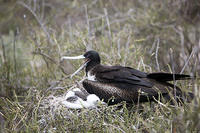 Frigate Bird and Chick