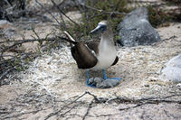 Blue-footed booby with chicks