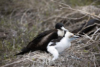 Another Frigate Bird and Chick