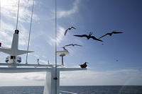Frigate Birds Following Us