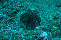 West Indian Sea Egg urchin