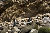 Flightless cormorants drying out