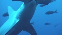 Video: Hammerheads
