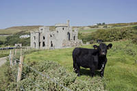 Cow at Clifden Castle