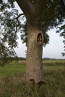 Old face in a tree