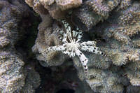 Feather coral