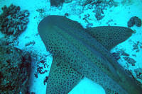 More leopard shark
