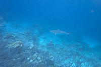 Another black tip reef shark
