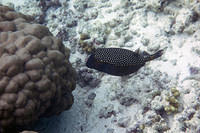 White spotted boxfish
