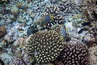 Meyer's Butterflyfish