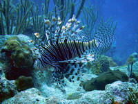 Lionfish up close