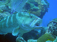 Nassau grouper and cleaning fish