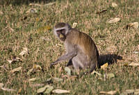 Baboons and monkeys