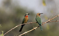 More bee eaters