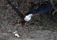 Fish eagle and tiger fish