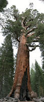 """Gizzly Giant,"" Mariposa Grove"