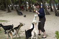 Feeding the goat inhabitants of Pont Pierre beach, Les Saintes