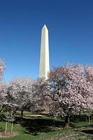 Cherry trees and Washington Monument