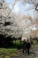 Cherry Blossoms 2007